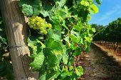 Italian vineyard