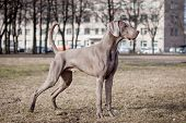 Weimaraner dog outside