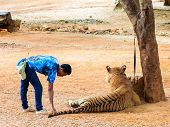 Staff With Bengal Tiger At The Tiger Temple in Kanchanaburi Thailand