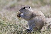 Prairie Gopher