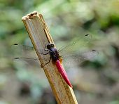 Red Tail Dragonfly  Hanging  A Stick