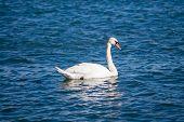 Single Mute Swan On Water.