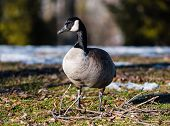 image of canada goose  - Single Canada goose standing on partly frozen grass and twigs - JPG