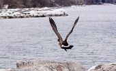 stock photo of canada goose  - Canada goose taking off from rocks in mid - JPG
