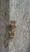Big Cicada On Grey Wall