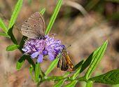 Two Butterflies On One Flower