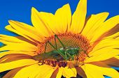 Locust On Sunflower