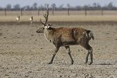 Male Sika Deer With A Wound On His Side Going Through The Autumn Steppe