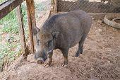 Black pig in the farm