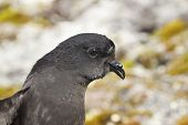 Portrait Of Wilson's Storm Petrels Antarctic Summer