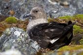 South Polar Skua Female Is Sitting On Eggs In A Nest