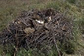 Steppe Eagle Nest In The Spring Kalmyk Steppe