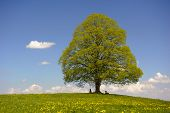 single big linden tree