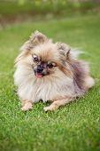 spitz pomeranian dog