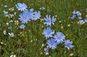 image of adonis  - Chicory flowers in a forest glade - JPG