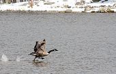 Wild goose splashing into flight