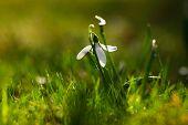 Snowdrop Flower In Blossom