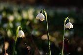 Spring Snowflakes Flowers - Leucojum Vernum Carpaticum