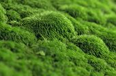Texture of green moss on a rock.