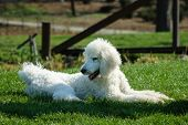 King Poodle Playing In Park During Spring