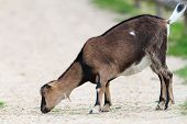 Young Goat Eating On Gravel