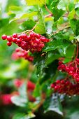Red Berries Of Viburnum (guelder Rose) In Garden