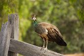 picture of female peacock  - Female peacock standing on a weathered gray wooden fence green blured background