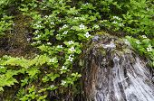 pic of dogwood  - Dwarf dogwood clusters next to a spruce stump in an Alaskan forest - JPG