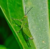 Side View Of  Green Grasshopper With Black Dot Hanging On  Leaf