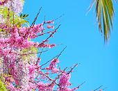 picture of judas  - pink Judas tree wisteria flowers under a palm branch - JPG