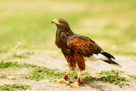 picture of hawk  - Harris hawk Parabuteo unicinctus on the ground - JPG