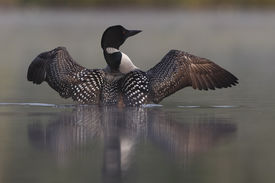 pic of loon  - Common Loon  - JPG