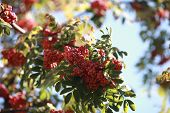 Bush Of Red Rowan