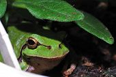 stock photo of orange frog  - green tree frog on a leaf looks out at the camera - JPG