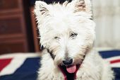 pic of west highland white terrier  - West Highlands terrier with open mouth in portrait - JPG