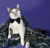 picture of blue tabby  - White and tabby cat in bow tie and Christmas tinsel sitting on blue background - JPG