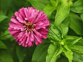 Red Aster Close-up