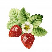 picture of strawberry plant  - Strawberry made with watercolors on white background - JPG