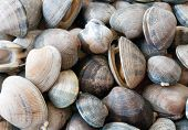Pile of live clams