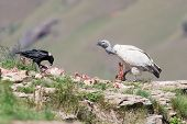 Cape Vulture And White Necked Raven Sitting On Mountain