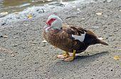 A Muscovy Duck