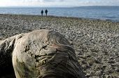 picture of driftwood  - People walking on a beach behind big piece of driftwood - JPG