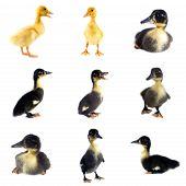 Funny Black Duckling