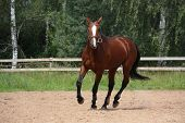 picture of breed horse  - Beautiful bay latvian breed horse galloping at the field near the fence - JPG