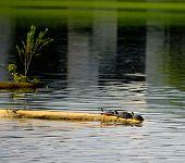 common musk turtles
