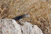 Greek lizard on a rock