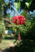 pic of hibiscus  - Red Hibiscus  - JPG