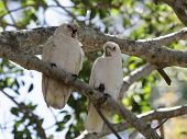 pic of bribie  - Two Little Corellas  - JPG