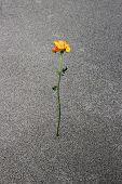 stock photo of desert-rose  - single yellow overblown rose on sandy desert - JPG