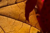 Nature Abstract - Cells And Veins Of A Dying Leaf
